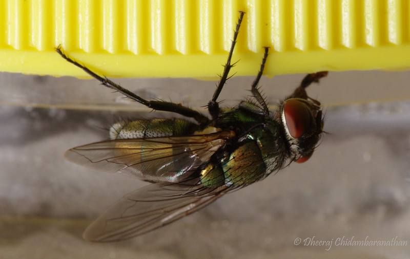 First macro shot of live housefly with 6D