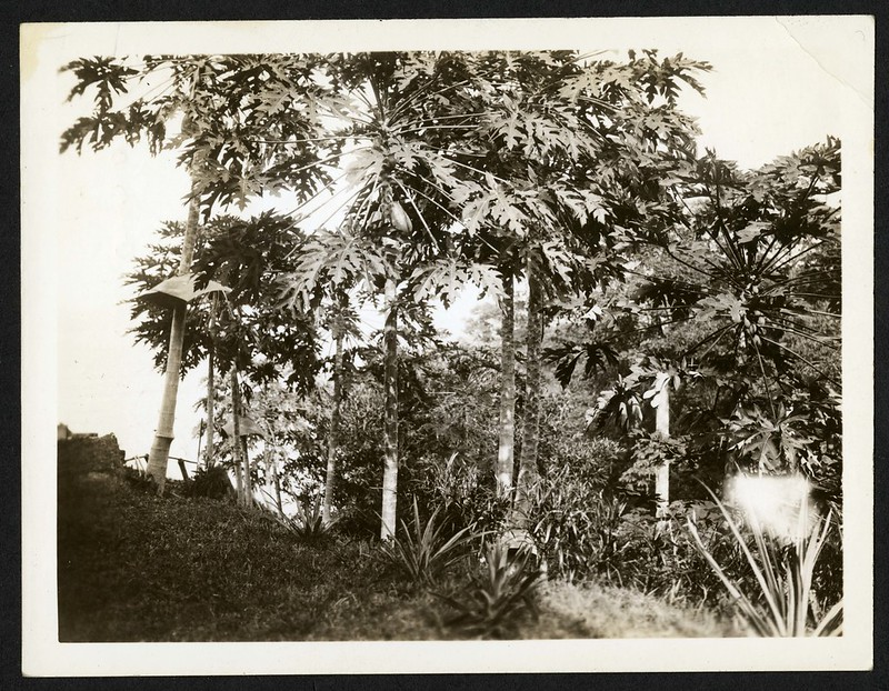 "Papaya or ""Pepya"". Note melon-like fruit attached to trunk of trees near top.  Barro Colorado Island Laboratory, 5 March 1935.  Name of Plant is ""papayo"". Name of fruit in Cuba is ""fruta bomba."""