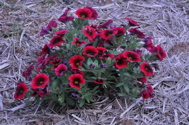 1DSC_0011 red flowers (Explored!)