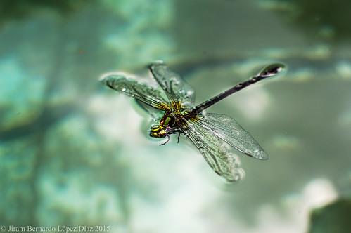 Blattodea.