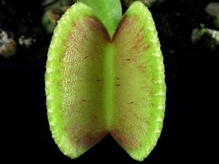 Seed grown Dionaea (2014) | by Taudan Plants