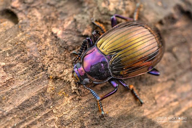 Darkling beetle (cf. Eucyrtus gloriosus) - DSC_6179