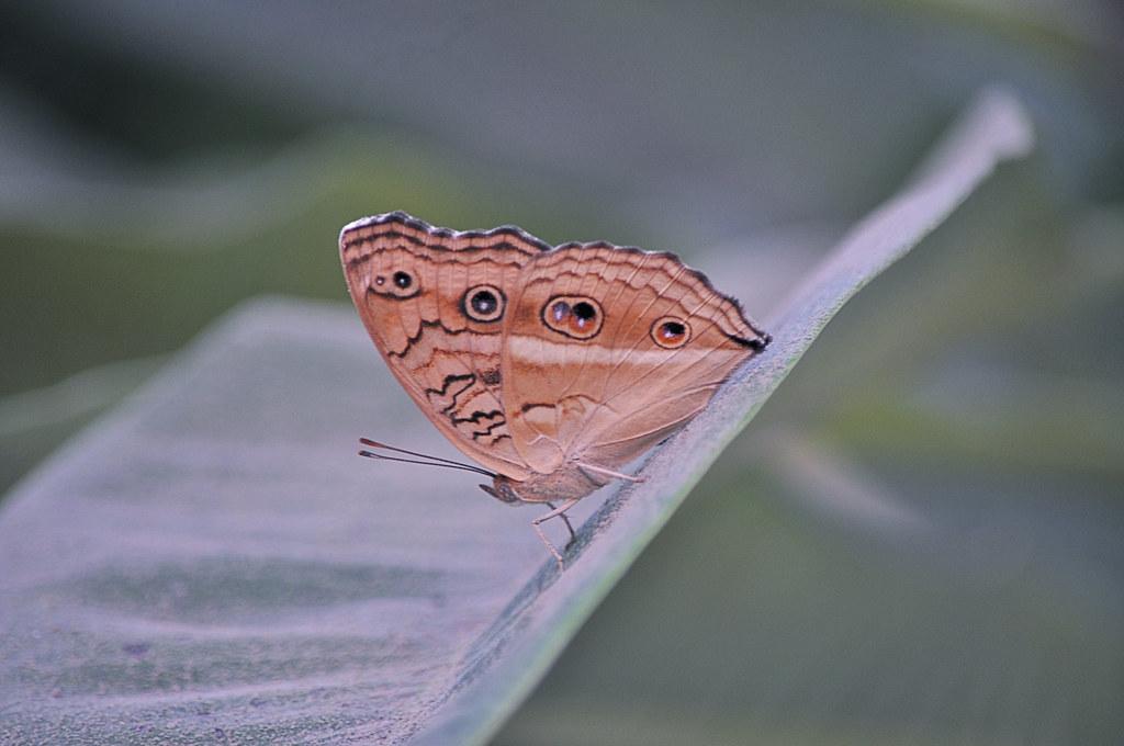 The Common Evening Brown (Melanitis leda)
