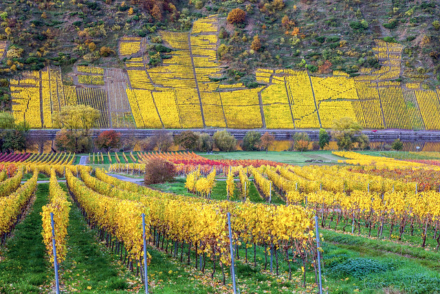 Herbstfarben in den Weinbergen im Moseltal