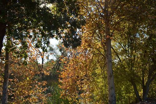 Autumn Trees Along the Banks of the Calavaras River, Stockton, California
