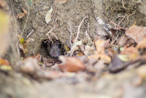 Forest rat looking out of its burrow | by Ivan Radic