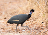 Crested Guineafowl by rhysmarsh