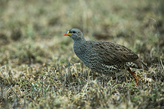 Natal Francolin | by nickathanas