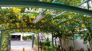 Allamanda-hendersonii_431Nohonani-Waikiki_Cutler_20151124_155440 | by wlcutler