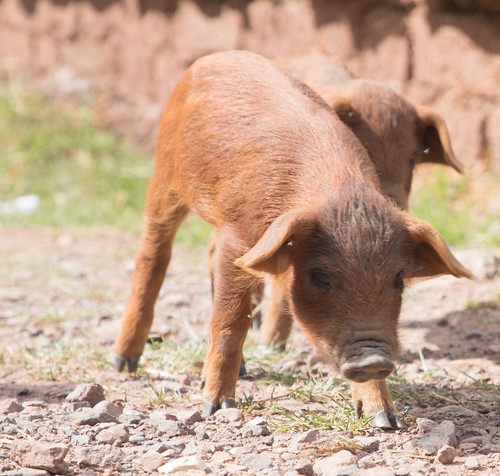 A baby pig at the Parwa Community Restraurant in the Sacred Valley of Peru.   by apardavila