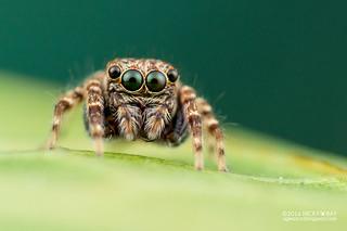 Jumping spider (Leuserattus sp.) - DSC_4802