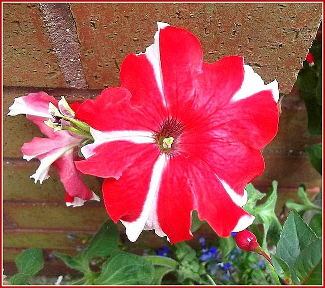 Red Petunia ,
