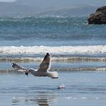 Mo, 02.11.15 - 14:59 - Pinguinera Islote de Piñihuil