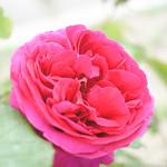 Rose, Violet Queen, バラ, ヴァイオレット クイーン,