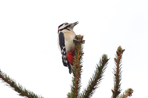 Great spotted woodpecker  ---  Dendrocopos major | by manum.net - Photos from Manum Gård