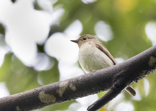 Narcissus Flycatcher | by See Toh Yew Wai