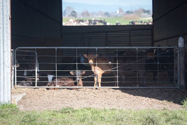 New Zealand Dairy Industry Cruelty November 2015