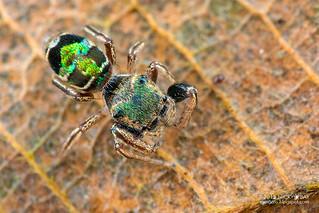 Jumping spider (Bryantella sp.) - DSC_3005