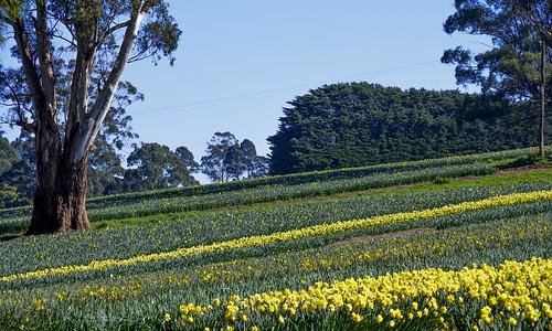 flowers yellow rural season nikon farm hill farming australia victoria rows vic horticulture daffodils gippsland warragul westgippsland d5100 ellinbank nikond5100 phunnyfotos