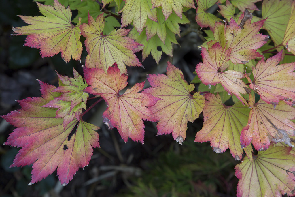 Autumn Colour In Golden Full Moon Maple Acer Shirasawanu Flickr