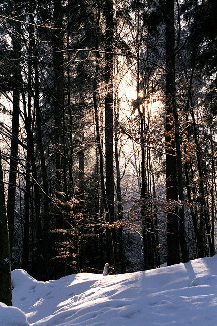 Snow in Winter Forest