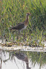 juvenile Bronze-winged Jacana (Metopidius indicus) by Ron Winkler nature