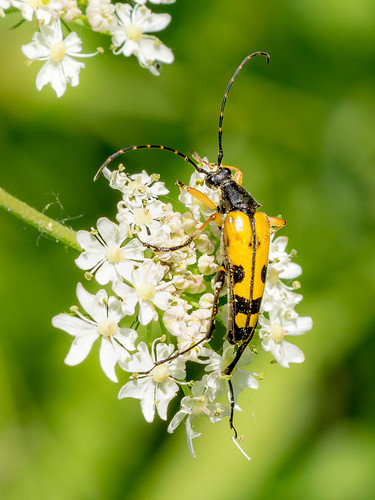 Black and Yellow Longhorn Beetle, Rutpela maculata | by ArtFrames