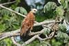 Busarellus nigricollis - Black-collared Hawk by Roger Wasley