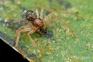 Crab spider (Thomisidae) - DSC_3489