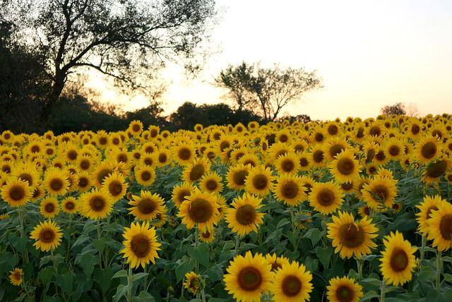 Colby Farm Sunflower Field