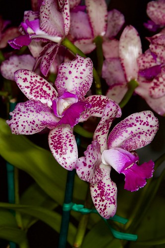 C. Caudebec ' Marty's Orchids' – Anita Spencer | by shaggy67