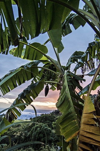 planta view kingston árbol platanera