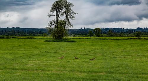 grass animals us washington unitedstates wildlife deer pacificnorthwest elma satsop satsopriver chehalisriver keysroad
