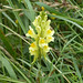 Flickr photo 'Common Toadflax Linaria vulgaris' by: gailhampshire.