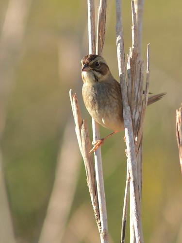 Swamp Sparrow 05-20161121