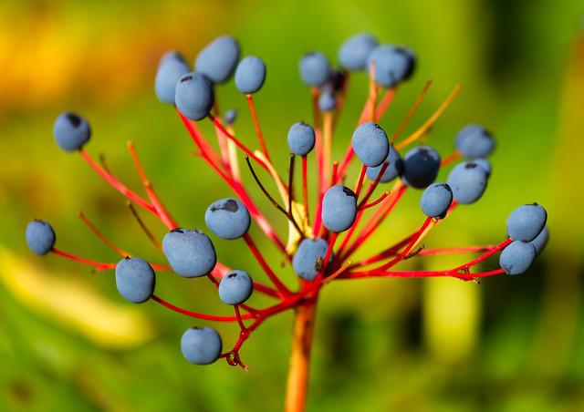 Blueberry-looking berries