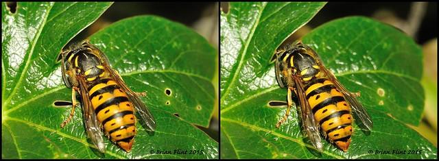 Queen Wasp - 3d cross-view