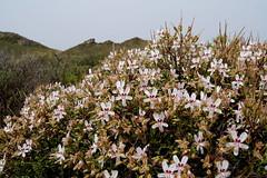 Pelargonium crithmifolium in habitat