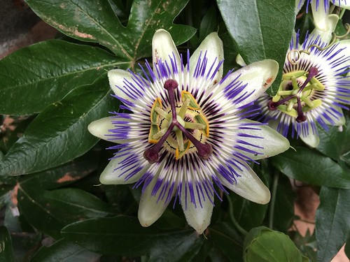 Passion flower | by jimforest
