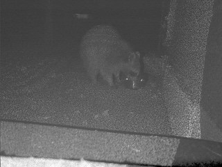 Monday night raccoon