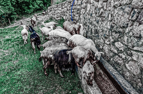 Goats On The Rocks (slightly colored)