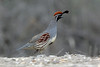 Gambel's Quail, Grand Junction, Mesa, Colorado by Terathopius