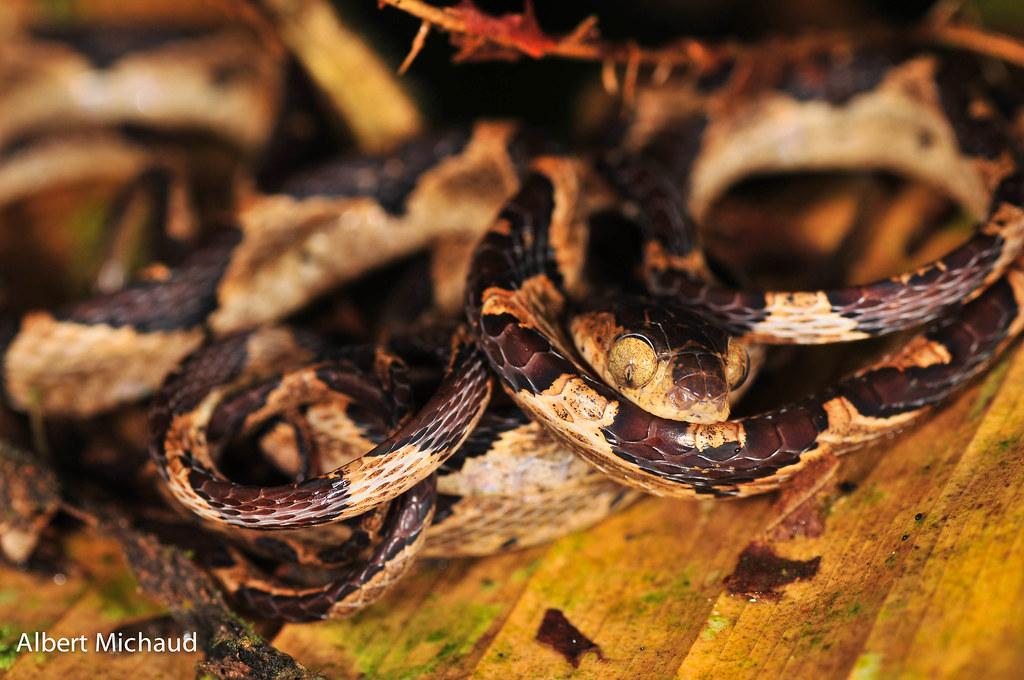Common Chunk Headed Snake (Imantodes cenchoa) | Albert