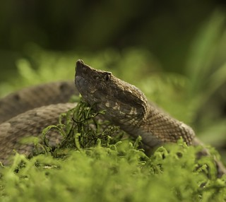 Hognose Viper adjacent to Braulio Carillo Nat Park | by MedicineMan4040