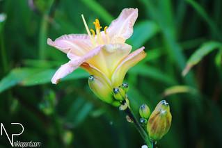 Flowers Nikko Panti Misterbaks 1 | by theMisterbaks