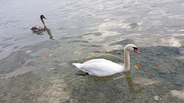 Swans - Attersee - Austria