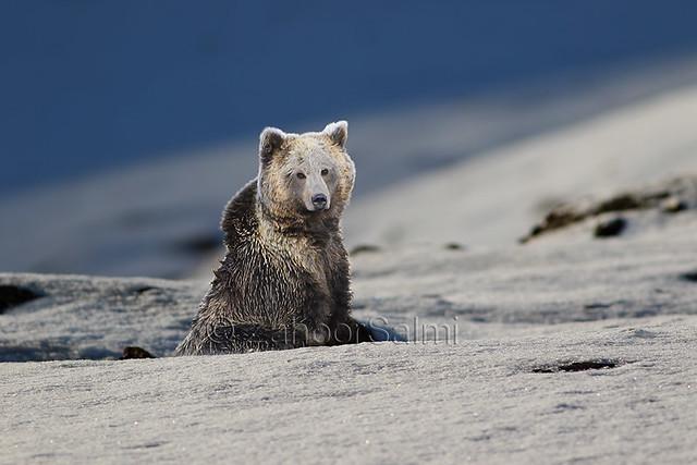 Himalayan  Brown Bear Deosai
