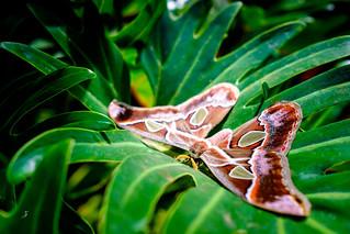 Attacus Butterfly | by www.ziggywellens.com