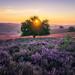 Blooming Heath by albert dros