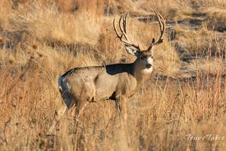 Mule Deer Buck with an impressive rack   by TonysTakes